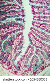 Small intestine with intestinal villi under the microscope