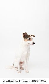 Small Jack Russel Mix Dog With One Eye Sitting on White Background