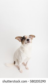 Small Jack Russell Mix Dog With One Eye Sitting on White Background