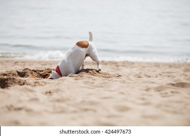 Small Jack Russell puppy playing with frisbee disc on the beach digging sand. Cute small domestic dog, good friend for a family and kids