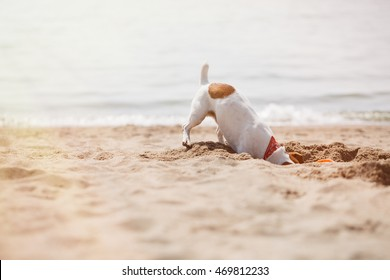 Small Jack Russell puppy playing with frisbee disc on beach.Funny little terrier dog digs a hole in sand.Cute pet plays outdoor in summer day