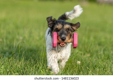 Small Jack Russell Terrier dog is holding a dumbbells in the catch outdoor. Doggz is runnig across a green meadow
