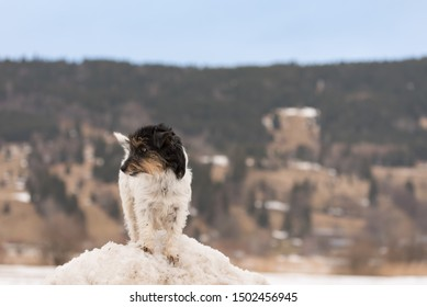 Small Jack Russell Terrier dog 3 years old is standing on a snowy hill in front of moutains in Oberammergau Germany