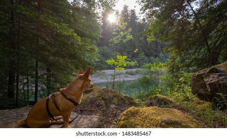 small jack russell terrier over looking at the Eel river in northern California, usa