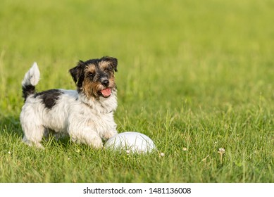 Small Jack Russell Terrier is standing at a bullet and is waiting. Sporty obedient dog in training