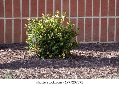 a small Japanese holly bush in a foundation planting around a bui9lding in spring