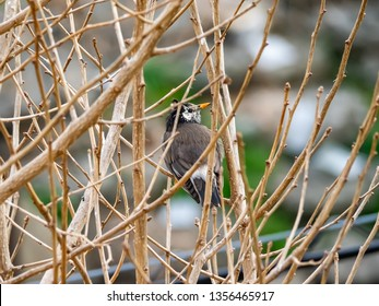 A small Japanese white-cheeked starling perches in an bare tree on a winter's afternoon.