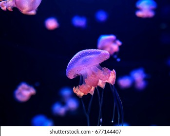 Small Jelly Fish Medusa Colored by the Light