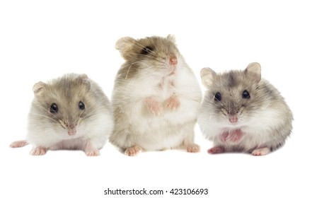 small Jungar hamster on a white background