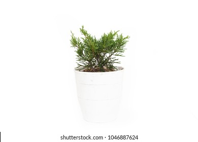Small juniperus media pfitzeriana Old Gold in pot isolated on white background
