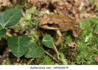 A small juvenile wood frog (Rana sylvatica, also known as Lithobates sylvaticus) sitting on moss in the forest.  This young frog metamorphosed only a few weeks before.