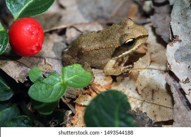 A small juvenile wood frog (Rana sylvatica).  This young frog metamorphosed only a few weeks before.  The red fruit and green leaves is part of a Partridge Berry (Mitchella repens) plant.