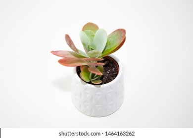 A small Kalanchoe Flapjack (Kalanchoe thyrsiflora) succulent pot plant with green, thick, rounded, fleshy, paddle-shaped leaves tinged with red, in a white ceramic pot isolated on a white background.