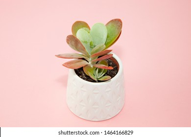 A small Kalanchoe Flapjack (Kalanchoe thyrsiflora) succulent pot plant with green, thick, fleshy, paddle-shaped leaves tinged with red/pink, in a white ceramic pot isolated on a pink background.