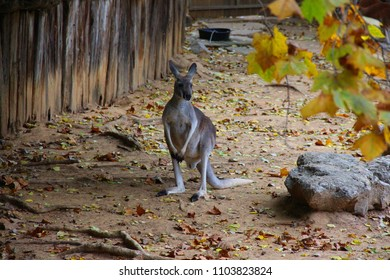 A small kangaroo in a zoo, near a fence