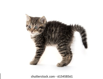 A small kitten arches its back on white background