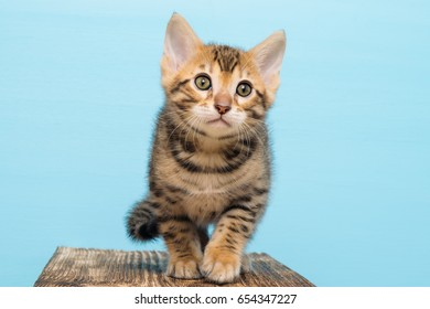 Small kitten of Bengal, on a blue background goes
