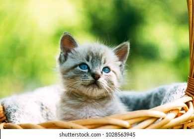 Small kitten with blue ayes in basket on garden closeup. Animal photography