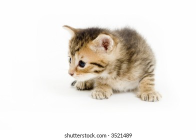 A small kitten laying and looking to the right on a white background
