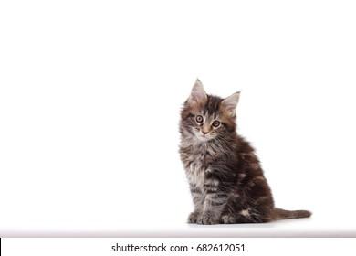 Small kitten of maine coon Studio photo of a kitten