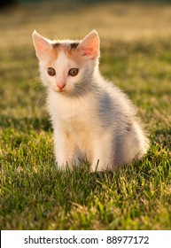Small kitten on the grass in the sunset