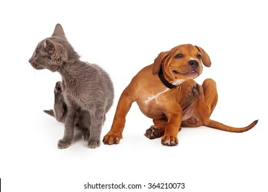 A small kitten and puppy sitting together on a white background and scratching