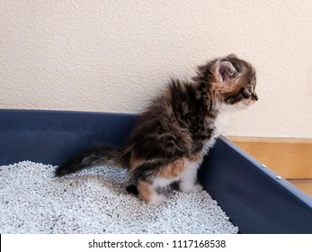 A small kitten using toilet, litter box, for pooping or urinate .