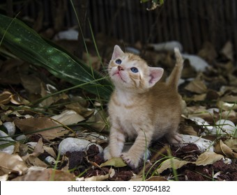 Small kitten white ginger with blue eyes looking on top during autumn