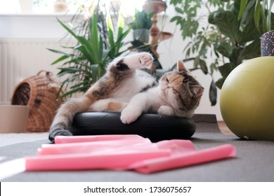 A small kitty among fitness equipment at home - ball, foam pads, pink tape for exercise lying of floor. This is the Exotic cat breed. It is similar to a Persian cat, but has short hair. - Shutterstock ID 1736075657