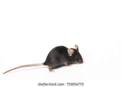 Small laboratory black mouse on white background, close-up