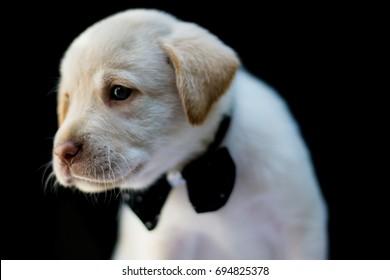 small labrador dog with corbatin