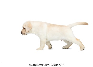 Small Labrador puppy Standing and Looking forward on isolated white background, side view