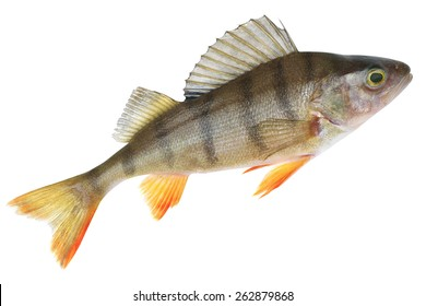 Small lake form of European perch. Place fishing stated in geotagging file