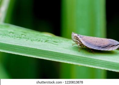 Small leaf hopper on a leaf