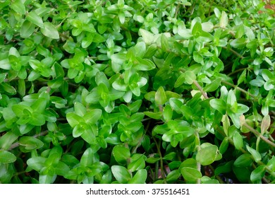 Small Leaf Plant in The Garden