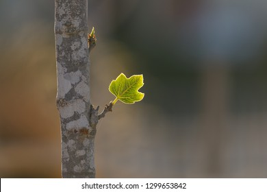 Small leaf who was born from a bud on fig tree at sunrise