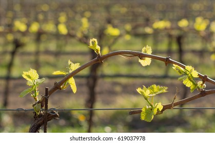 small leaves of the grape in spring with blurred background and artistic