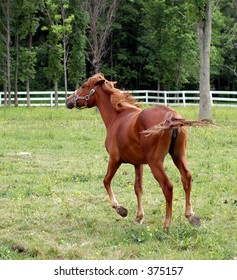 small light brown horse moving