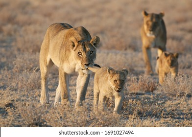 Small lion cub with adult female lion iholding it by the tail