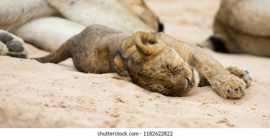 Small lion cub lay down to sleep on the soft Kalahari sand
