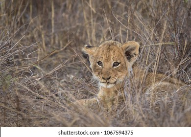 Small lion cub ( Panthera leo) laying in the grass just before sunset
