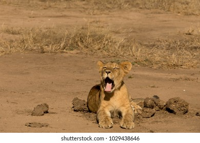 Small Lion Cup next to Elephant Dung Yawning