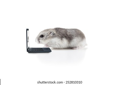Small little hamster working on a laptop