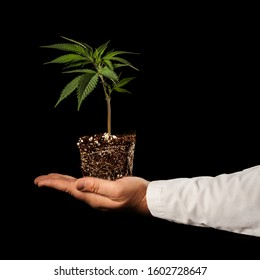 Small live cannabis plant presented by professional cultivator on black background