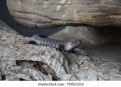 A small lizard