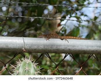 Small Lizard Chilling On Fense