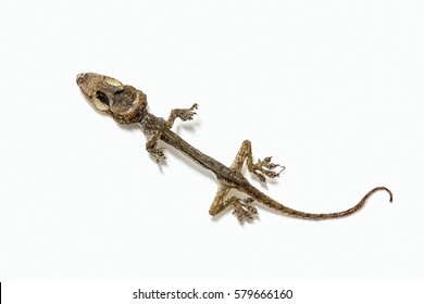 Small lizard dry dead on a white background
