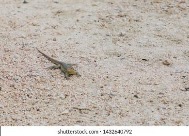 Small lizard (gecko) on the island of Bonaire