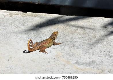 Small lizard on Nassau, Bahamas - Caribbean.