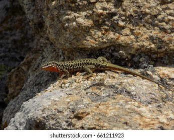 Small lizard on the rock
